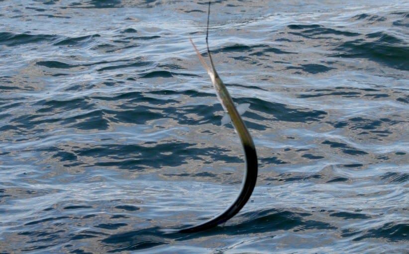 Hornfisketur fra båd den 10. maj