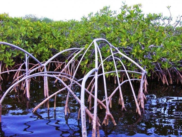 I mangroven kan man træffe enkelte fugle, men man skal ned under vandet for at se, at der vrimler med småfisk og krebsdyr